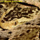 bothrops_asper_eq11
