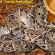bothrops_asper_eq7