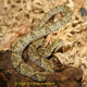 bothrops_venezuelensis6